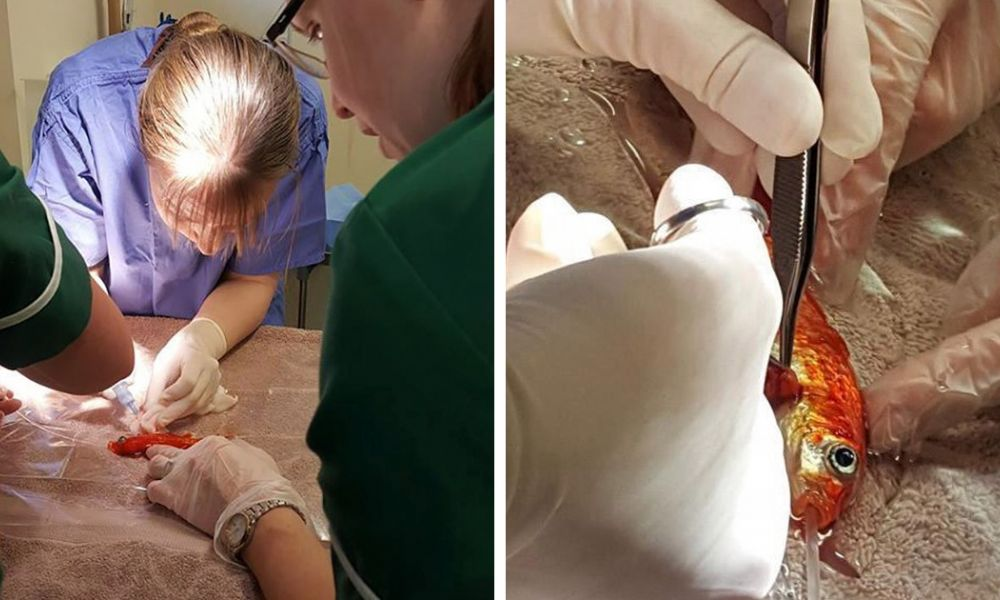 Family Spends $250 To Remove Tumor From Their Goldfish