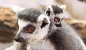 Creature feature: Matriarchs reign supreme in lemur life