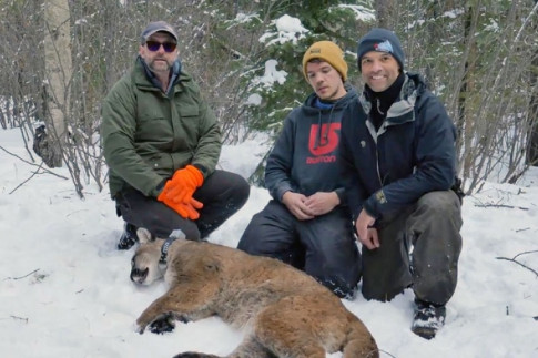 Cougar collaring project underway in Alberta - Let`s Go Outdoors...