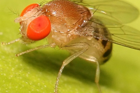 UMD Study Finds that Napping Flies Have Higher Resistance to Deadly Human Pathogen