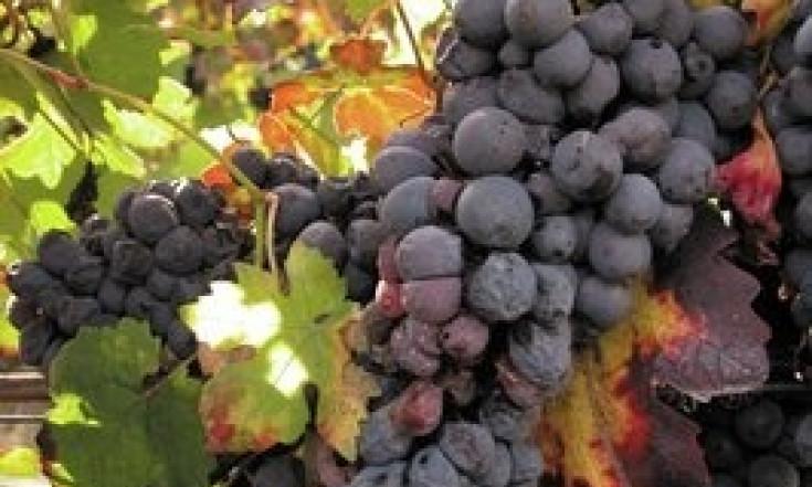 Impatto aromatico della botrite sul vino